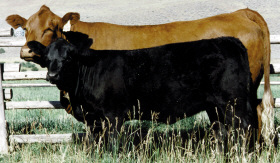 Photo courtesy of The American Simmental Association, www.simmental.org