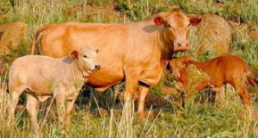 Photo courtesy of Tuli Cattle Breeders Society of SA, www.studbook.co.za