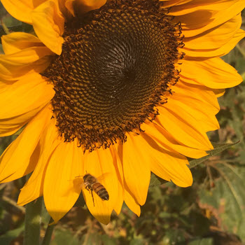 Planting, Growing and Harvesting Sunflowers