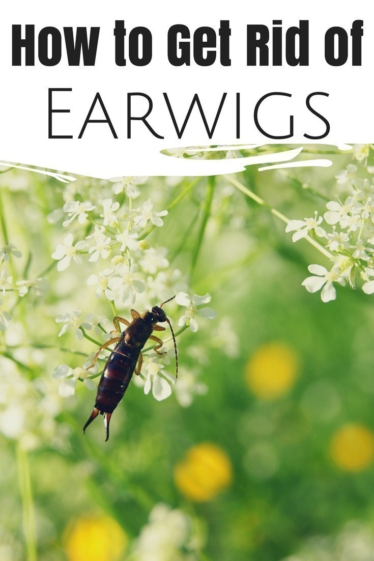 How To Get Rid Of Earwigs In The Garden Naturally