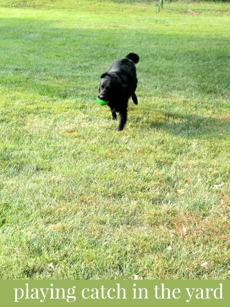 dog playing catch in the yard
