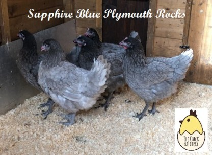 Sapphire Gem Blue Plymouth Rock
