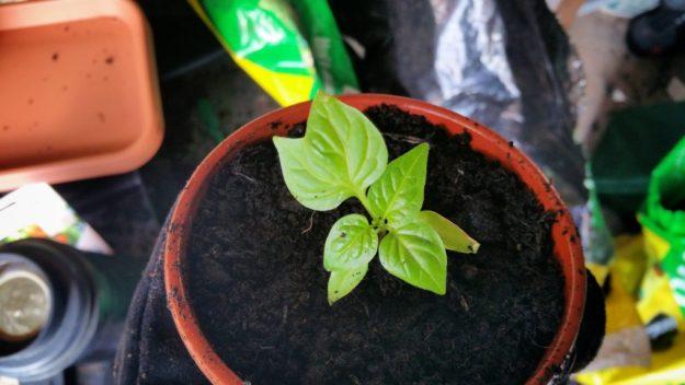 Martinique Chilli Double Leaf