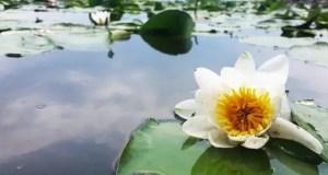 lly-flower