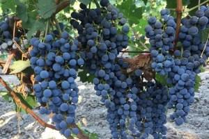 xinjiang-china-wine-grapes