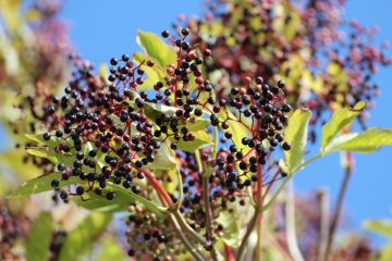 Tis' the Season for Colds and Flus-Propogating  and Using Elderberry