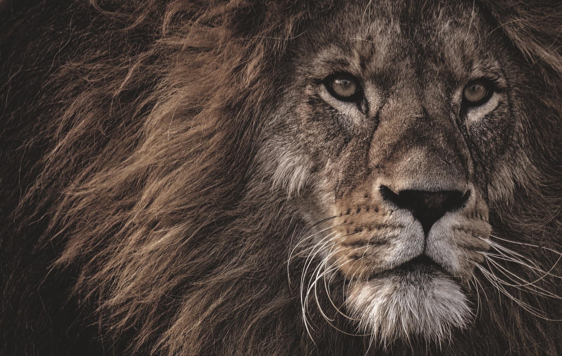 FF201908-lion-3576045