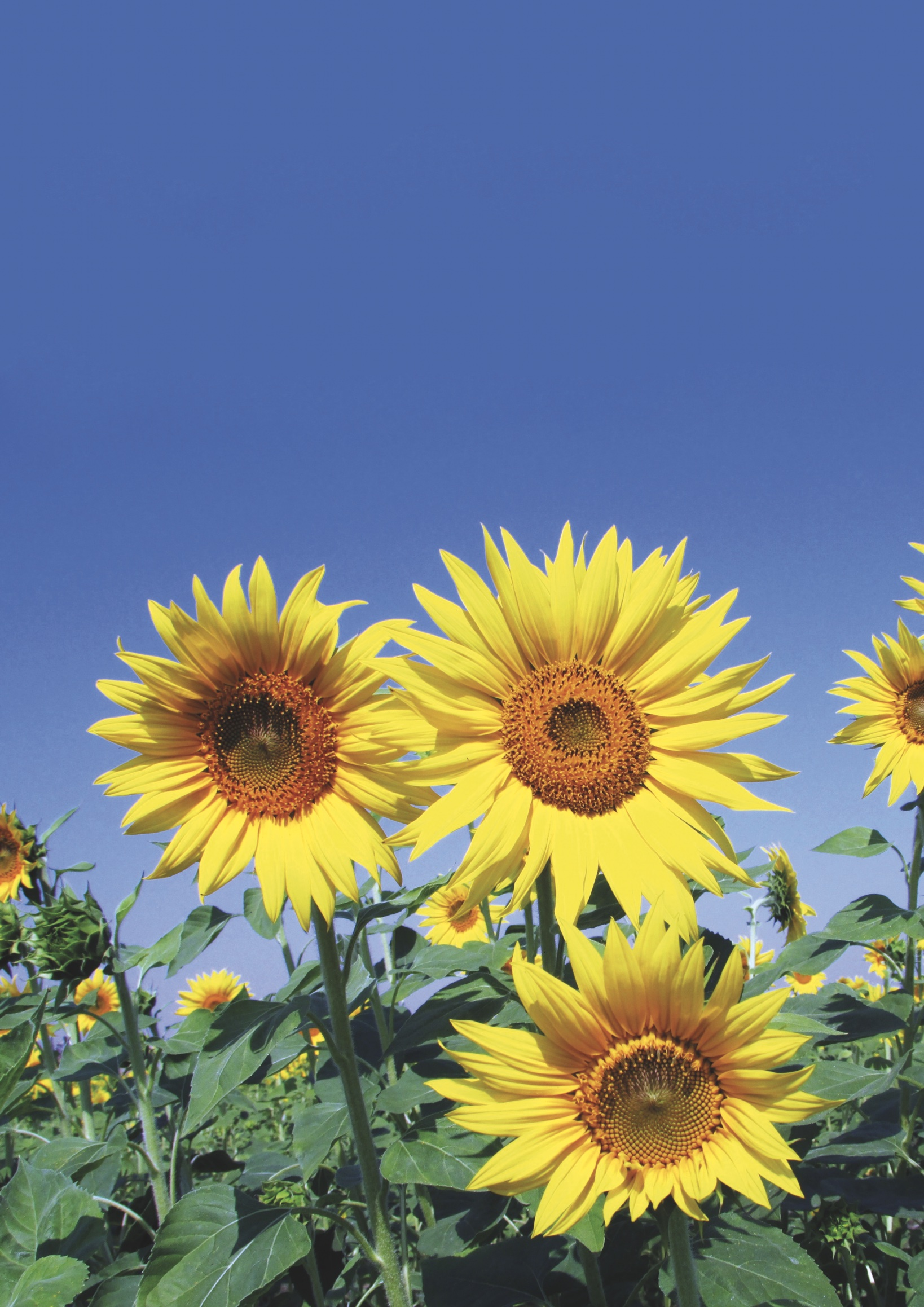 FF201909-sonnenblumen