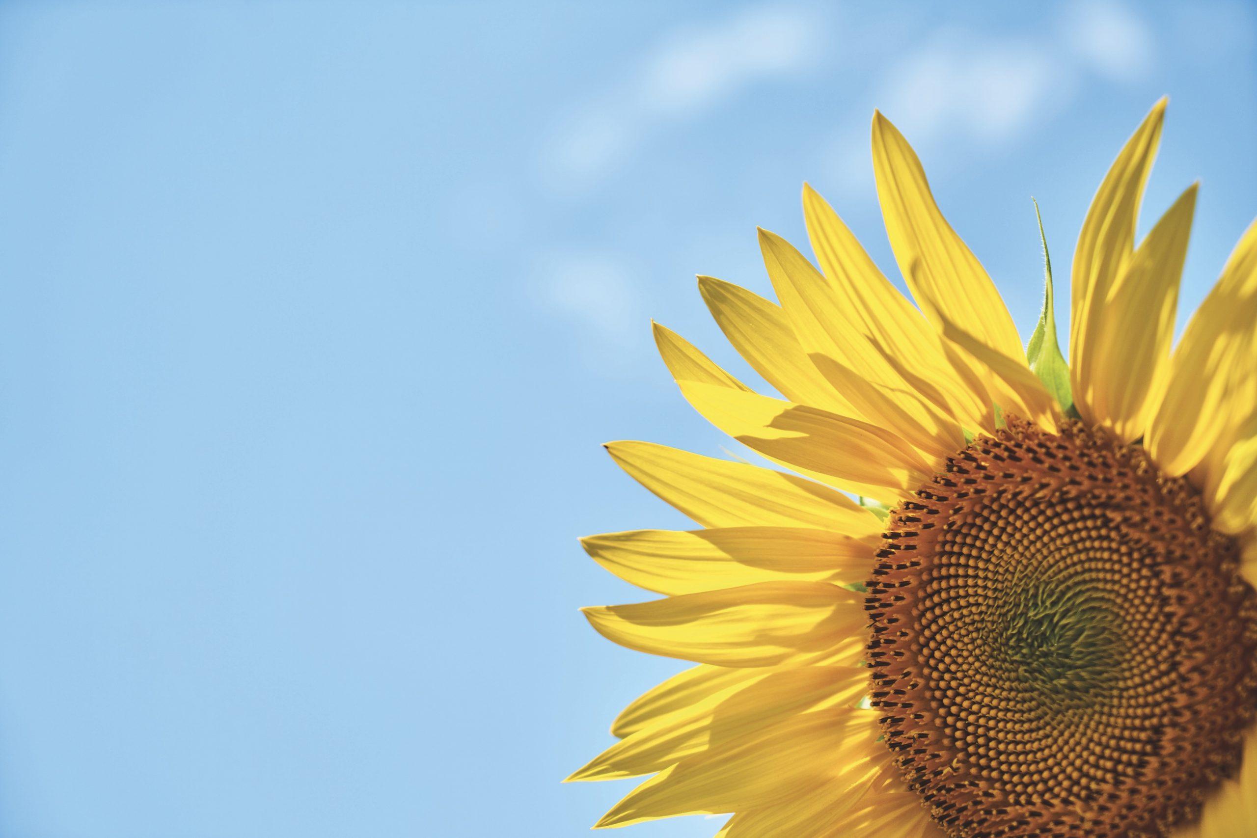 FF201909-sunflower-3616249