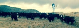 cattlewindmill