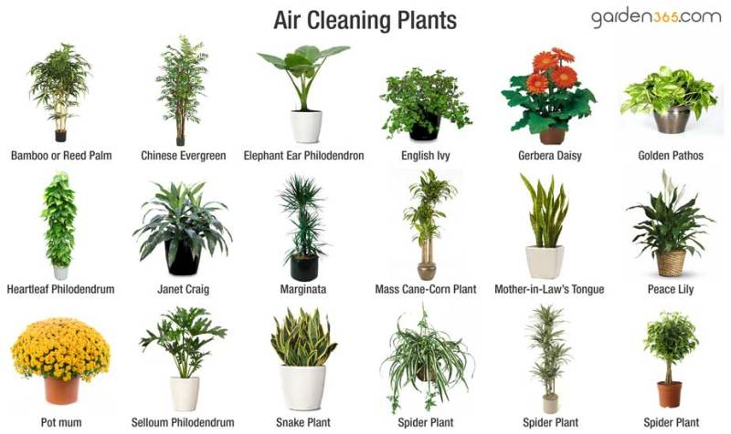 Best-Air-cleaning-plants-