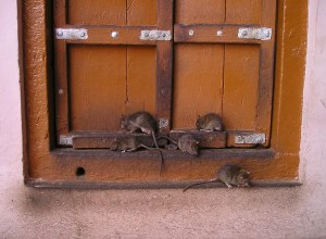 easy diy do it yourself home made rat repellent tips