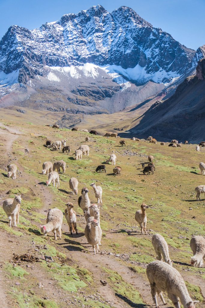 photos of Peru; Rainbow Mountain sheep