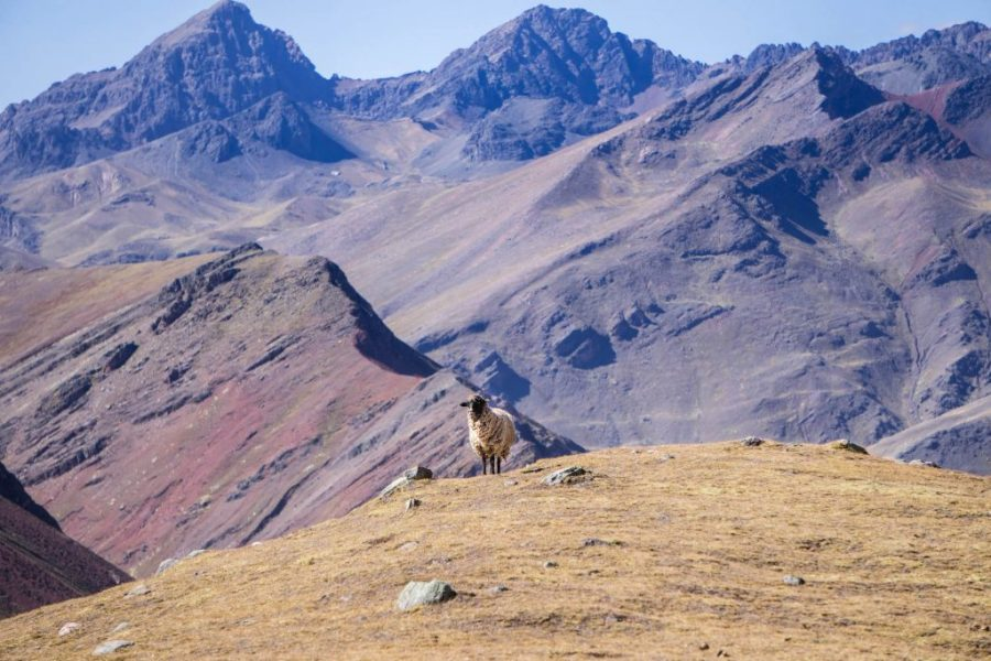 photos of Peru; Rainbow Mountain hike sheep