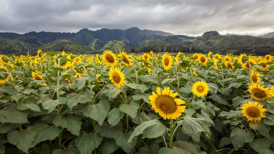 best things to do in Oahu; DuPont Pioneer Sunflower Fields