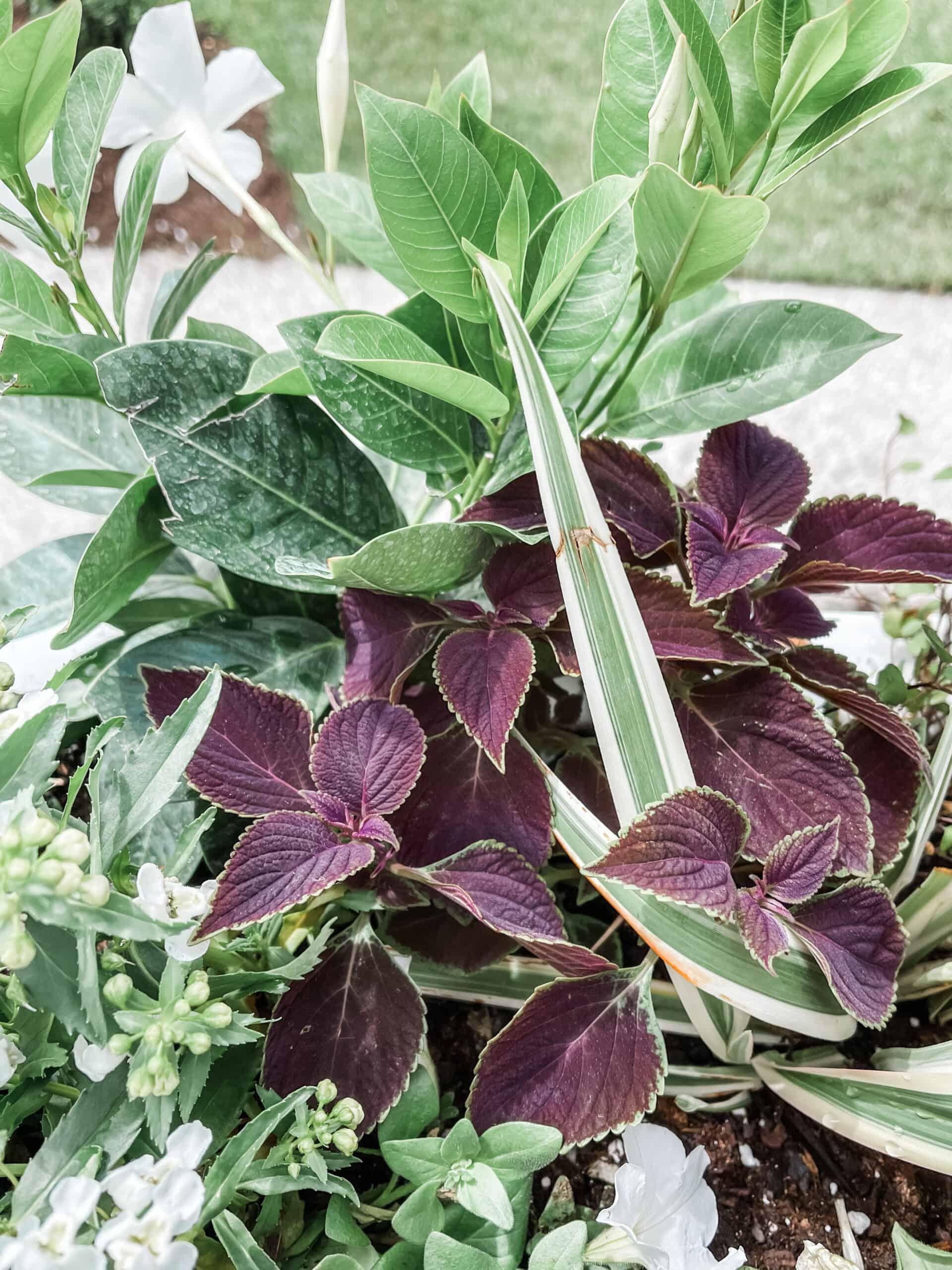Flax Lillies, coleus, and geranium
