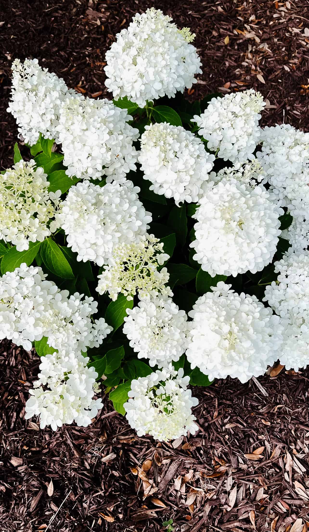 Panicle hydrangeas, the White Wedding variety from Southern Living Plant Collection and how to care for the hydrangeas.