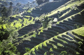 Coffee plantations have started appearing in Nepal as farmers switch away from traditional maize