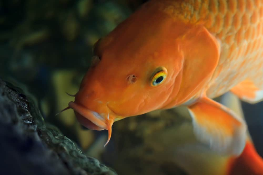 Koi fish swimming underwater (Cyprinus Rubrofuscus)