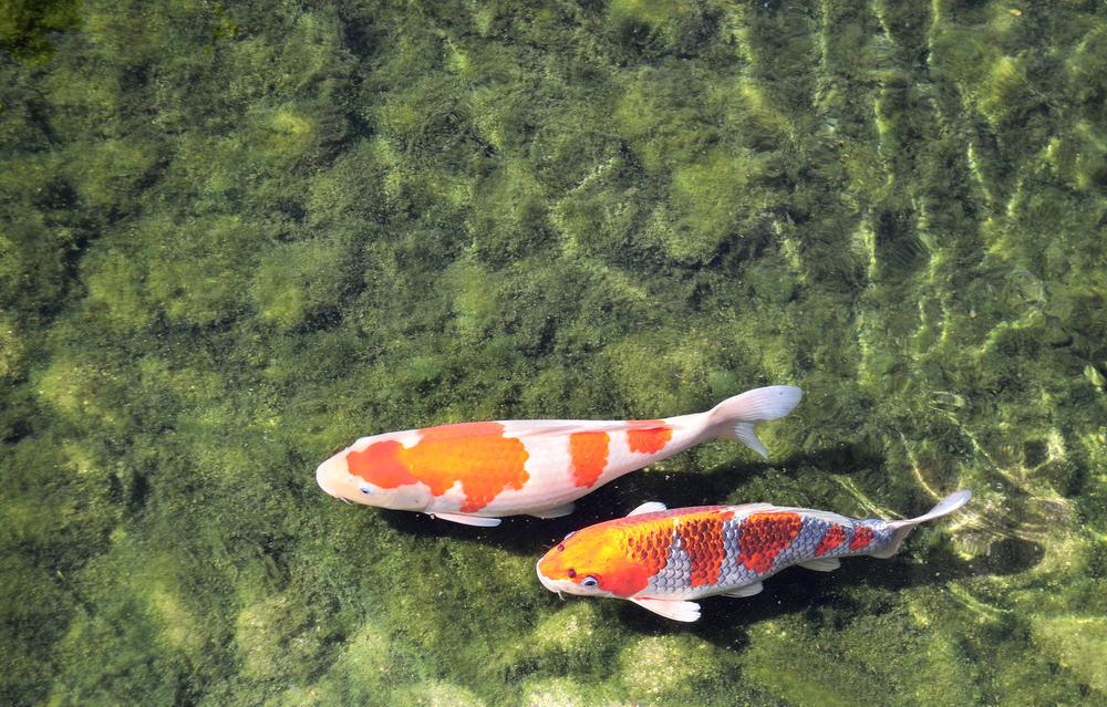 Two fancy carps in pond