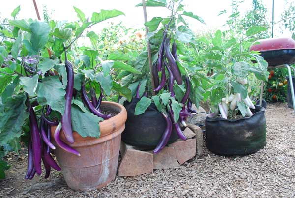 Image Result For How To Grow Your Own Vegetables In Pots