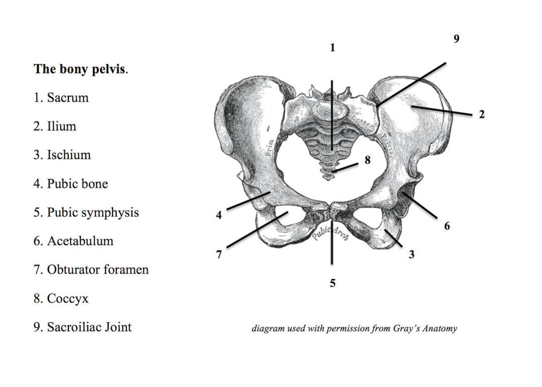 Anatomy Of The Bony Pelvis The Connected Yoga Teacher