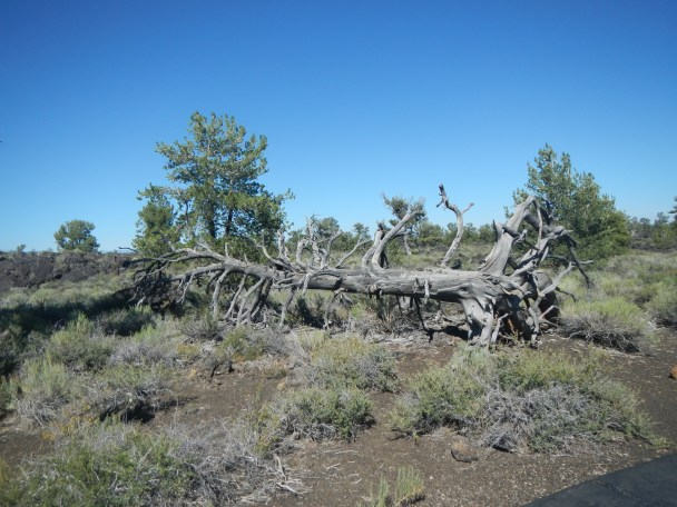 Fallen Petrified Tree at Craters of the Moon
