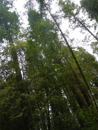 Coastal Redwoods Stout Grove 4