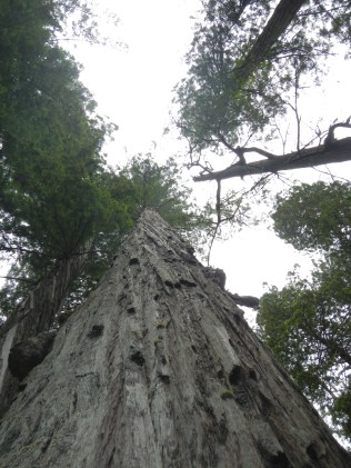 Looking up at Coastal Redwoods Stout Grove