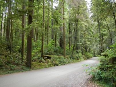 Trail Through Coastal Redwoods Stout Grove