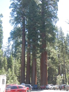 Giant Sequoia National Forest 1