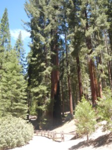 Giant Sequoia National Forest 5