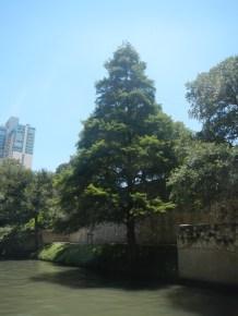 Tree in Downton San Antonio