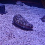 Cuttlefish at Epcot