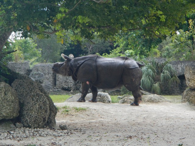 Things to do in Miami - See a White Rhino