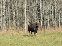 Moose in Northern Canada
