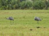 Sandhill Cranes Sleeping Port Charlotte FL