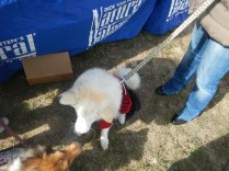 Doggie in costume at Scarecrow Fest St. Charles IL 2012