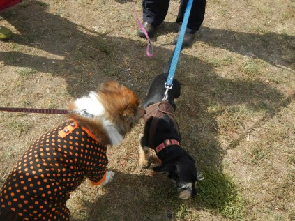 Punkin making Friends at Scarecrow Fest St. Charles IL 2012