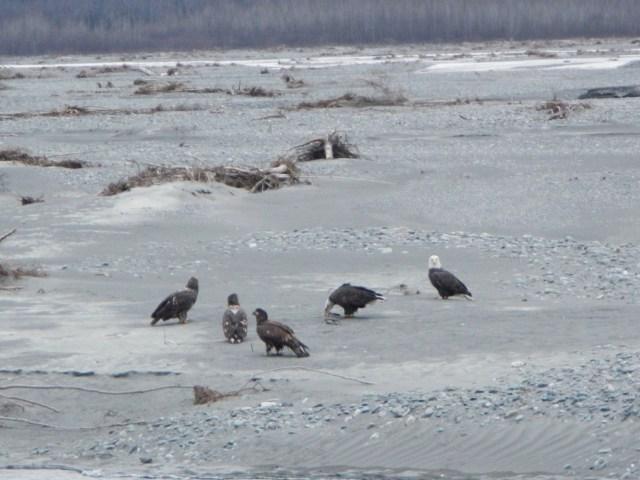 Flock of Bald Eagles in Valdez, AK