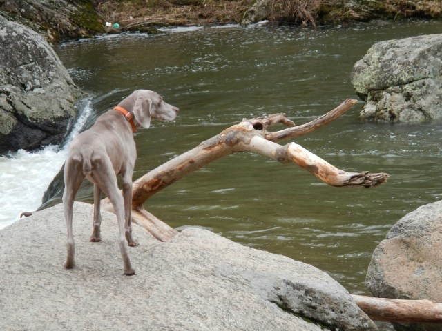 Wiemaraner at Elk Falls