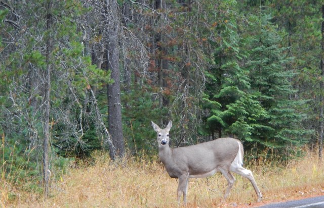 Glacier National Park Deer