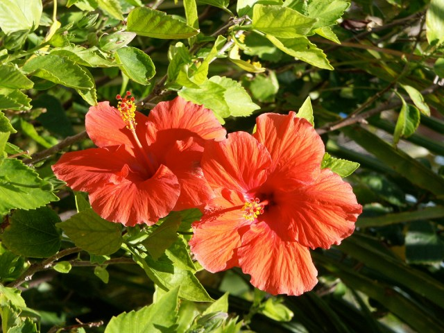 Blooming Hibiscus