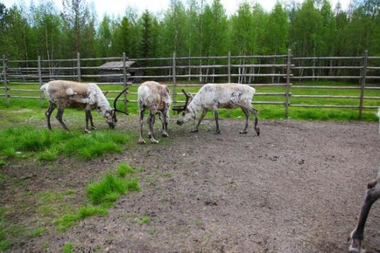 reindeer-farm-finnish