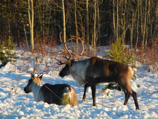 Caribou on the Highway