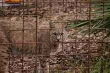 Bobcat-Big Cat Rescue-1