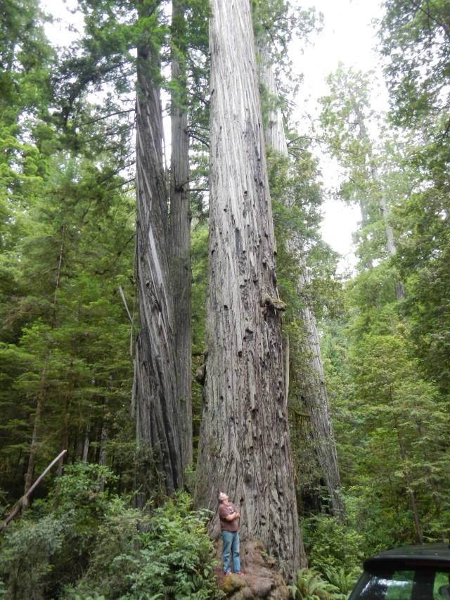 Feeling tiny with the California Redwoods