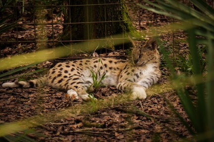 Frosty - White Footed Serval - Big Cat Rescue