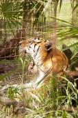 TJ - Tiger-Big Cat Rescue