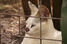 White Serval Big Cat Rescue